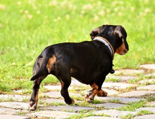 Ochorenie análnych žliaz (vačkov) u psov