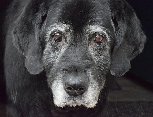 Starnutie psov a mačiek a ako môže majiteľ pomôcť svojmu starnúcemu zvieratku