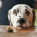 pes-zobranie